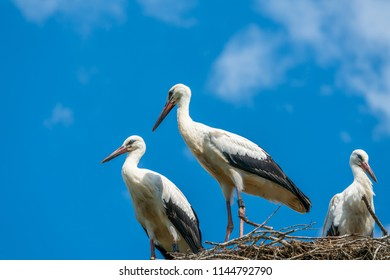A white stork family (Ciconia ciconia) - three storks standing in a nest in Polish countryside