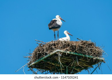 A white stork family (Ciconia ciconia) - two young stork chicks standing in a nest in Polish countryside