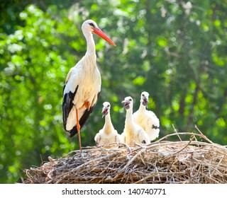 white stork family nest with little babies