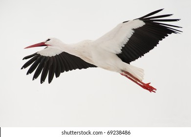 white stork flying above a snowed field