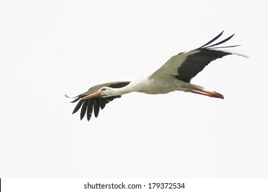 White Stork flying with blue sky / Ciconia ciconia