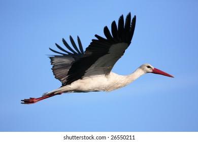 White stork flying on a blue sky