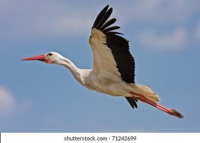 white stork flying on blue sky