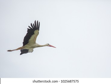 A white stork is flying over a field in Germany during summer time with cloudy weather