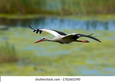 white stork flying over the lake in spring season (ciconia ciconia)