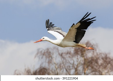 White stork flying past the woods. A beautiful white stork flies past some woodland.