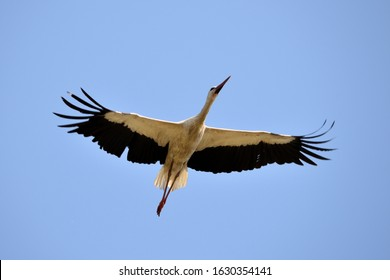 White stork flying.A beautiful white stork flies past some woodland