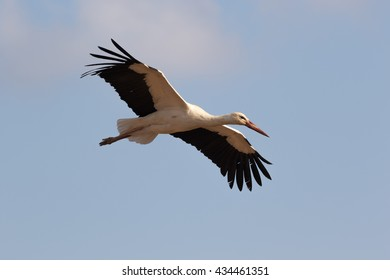 A white stork gliding on her migration from Africa to Europe