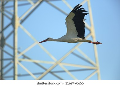 White stork and high voltage