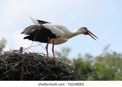 White Stork in his nest
