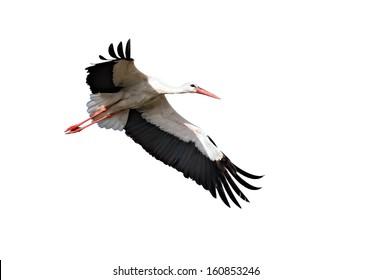 White Stork  Isolated on white.