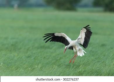 White stork - Lake Neusiedl, Austria