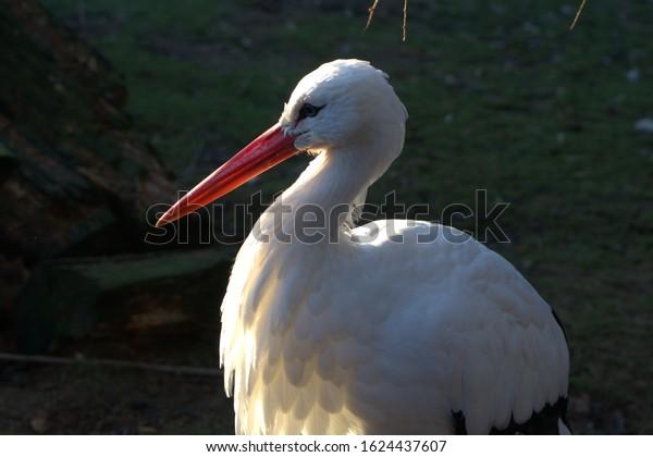 white stork with a long beak