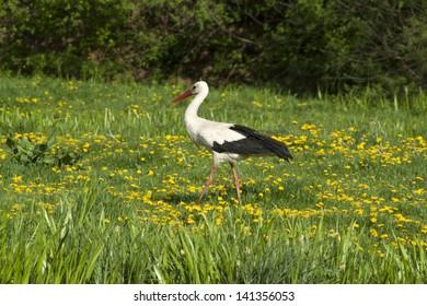 White stork in meadow