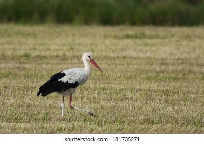 White stork in the meadow