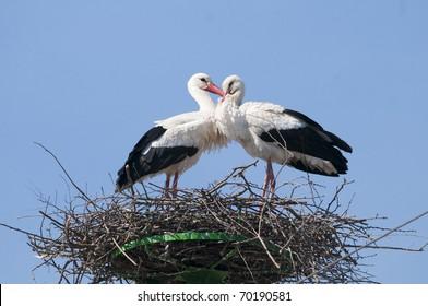 White Stork on nest in spring