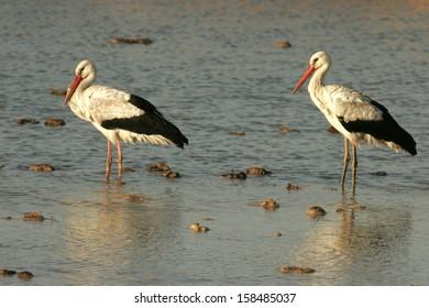 white stork south africa