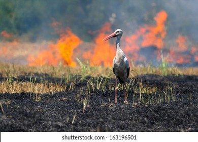 White stork standing on a burned agricultural field with fire still burning in the background.