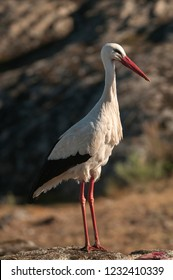 White stork standing on the rocks (Ciconia ciconia)