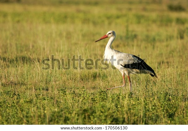 White Stork, standing, South Africa