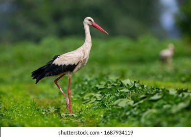White stork stands in green field. Ciconia ciconia from Kerkini lake in Greece.