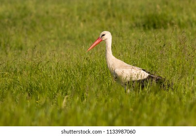 White stork stands on a meadow