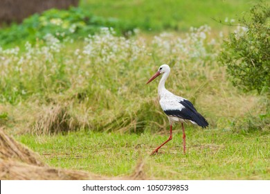 White Stork in summer