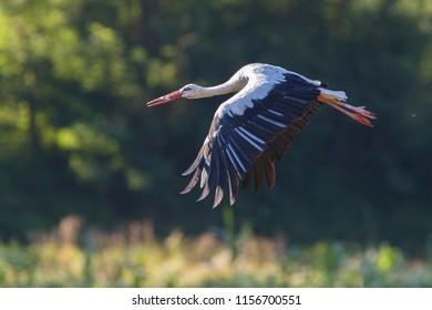 white stork in summer