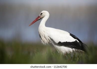 White Stork walking in grass