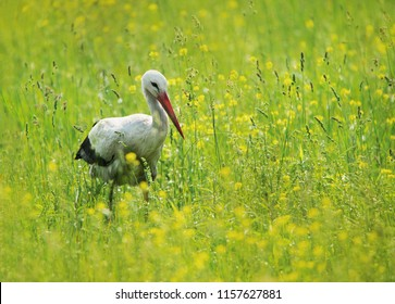white stork walking in a yellow flowering meadow - Burgenland