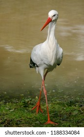 A white stork walks out of a lake