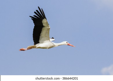 White stork with wings raised. A beautiful white stork holds its wings high as it flies across a blue sky.