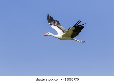 White Stork with wings raised. An elegant white stork has its wings raised as it is seen flying across a clear blue sky.