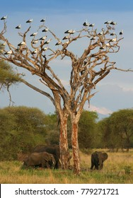 white storks in Africa are preparing for a spring return to Europe and the elephants are gathered under the tree