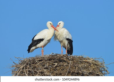White storks (Ciconia ciconia) on nest, Germany, Europe