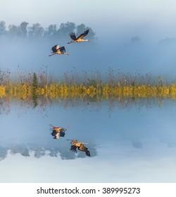 White storks flying