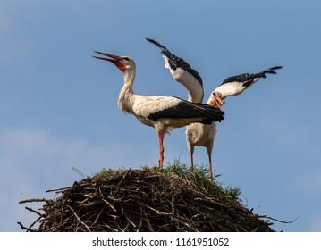 White Storks nesting