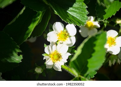white strawberry flowers, green leaves - Shutterstock ID 1982350052