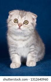 White striped kitten Scottish fold on a blue background