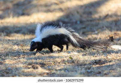White striped skunk