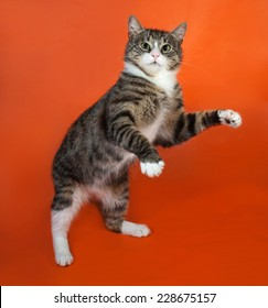 White and striped spotted cat standing on hind legs on orange background