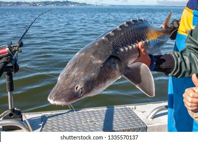 White sturgeon fishing catch and release