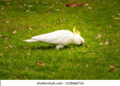 A white sulfur-crested cockatoo in the grass at the Royal Botanical Garden in Sydney, Australia.