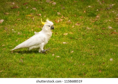A white sulfur-crested cockatoo walking in the grass at the Royal Botanical Garden in Sydney, Australia.