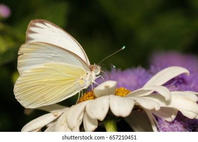 White sulphur butterfly close up macro shot