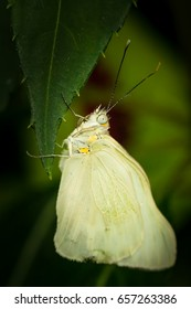 White sulphur butterfly - new born waiting for wings to be inflated with fluid