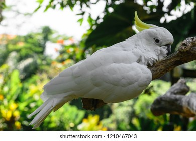 White Sulphur-crested cockatoo resting on branch in green foliage background