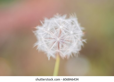 White summer close up wild flower dandelion on a blurry colored yellow and green muted background