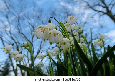 White bell shaped flowers images stock photos vectors shutterstock white summer snowflake flowers leucojum aestivum with green spots on the petals bell mightylinksfo
