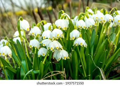 White Summer Snowflake flowers (Leucojum aestivum) with green spots on the petals, bell-shaped flowers with fresh spring green leaves.